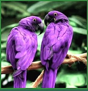 2-purple-parrots-f