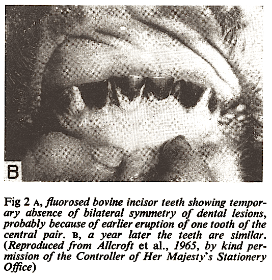 fluorosed-bovine-incisors