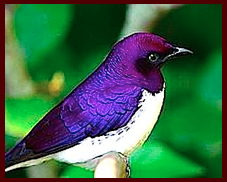 purple-white-bird-f