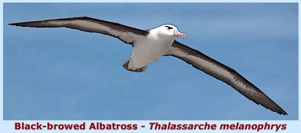 Albatross in flight f