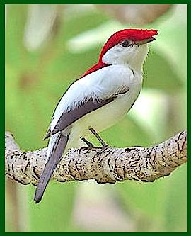 red-cap-bird-f