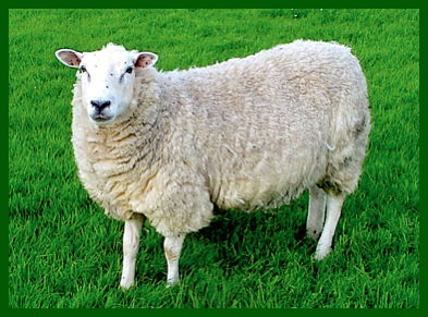 a-sheep-on-grass-f