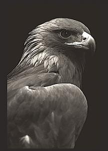 eagle-head-bw-f