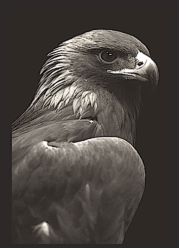 eagle-head-bw-f