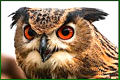 owl-with-big-eyes-f