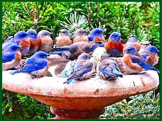 20-blue-birds-drinking-f