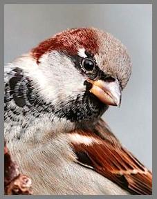 sparrow-head-f