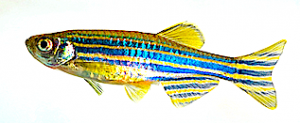 zebra-fish-right