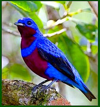 blue-red-bird-f