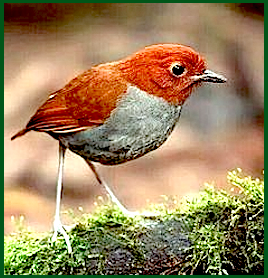 red-gray-bird-f