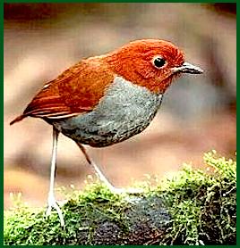 red-gray-bird-f