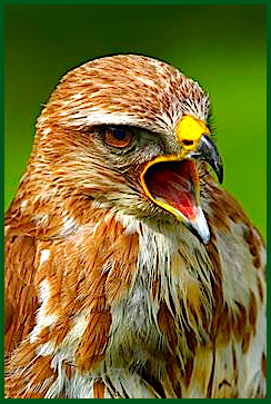 yelling-eagle-f