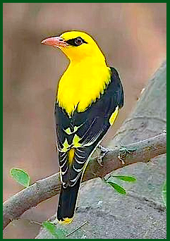 yellow-and-black-bird-f