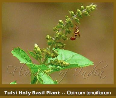 Tulsi holy Basil ff
