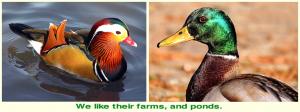 ducks-f