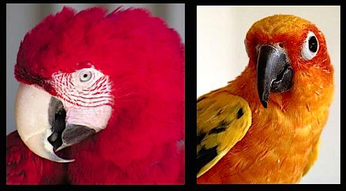 2-framed-parrots-f