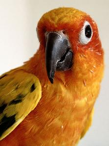 conure_face_1s.JPG copy