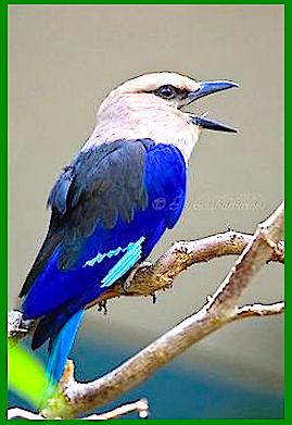 blue-and-white-kingfisher-f