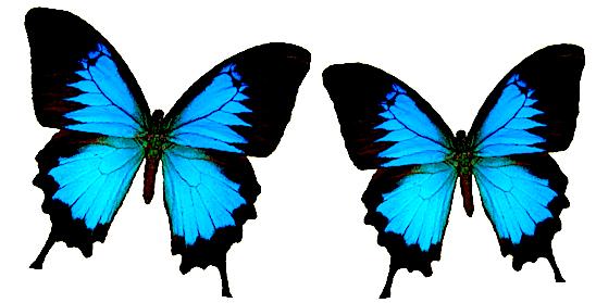 Two blue butterflies