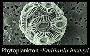 emiliania-huxleyi