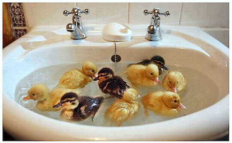 Ducklings-swimming-in-basin