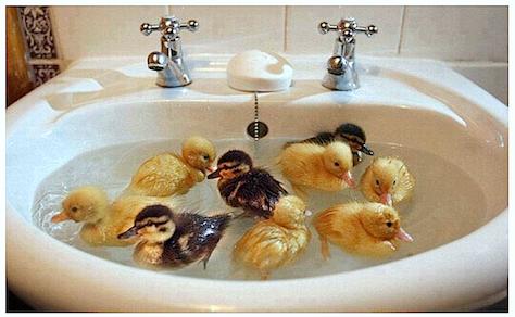 Ducklings-swimming-in-basin