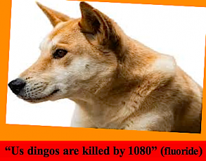 us-dingos-are-killed