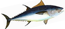 Bluefin tuna image