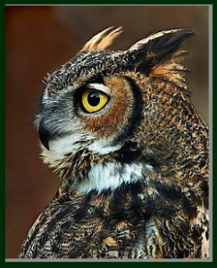 owl-looking-left-f