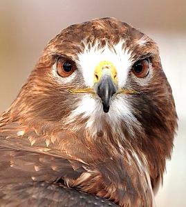 hawks-head