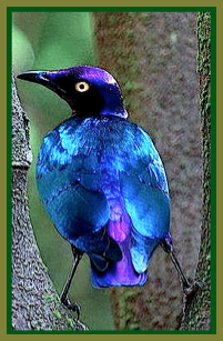 blue-purple-bird-ff