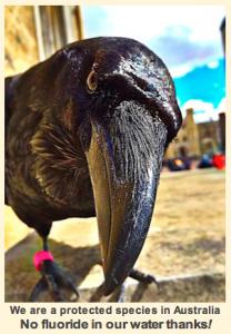 image-of-crow-f