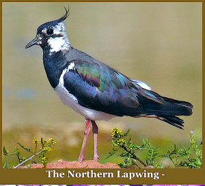 northern-lapwing-f