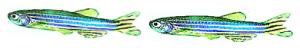 two-zebra-fish