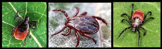 3-lyme-bugs