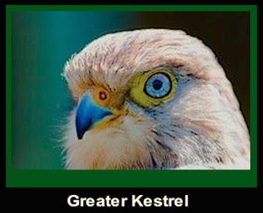 greater-kestrel-head-f