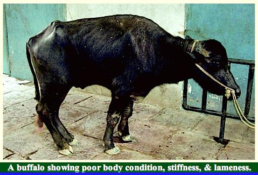 buffalo-lameeness-f