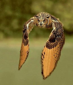 owl-low-flying