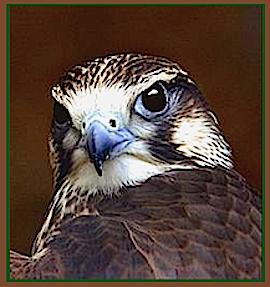 owl-head-ff