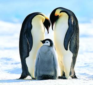 eperor-penguin