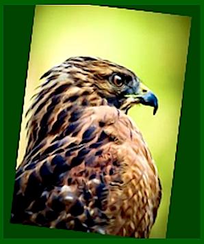eagles-head-fff