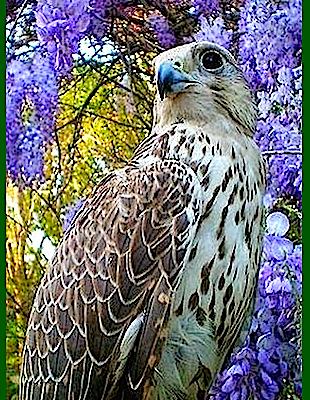 wisteria-and-eagle-f
