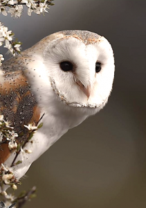 barn-owl-left