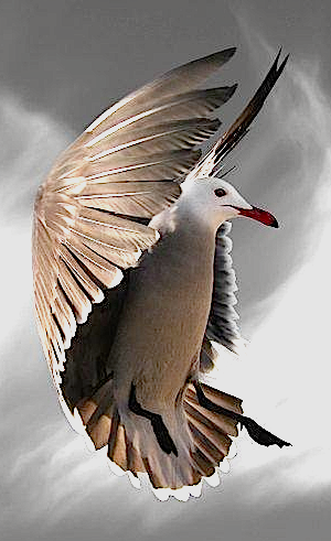 dove-in-flight