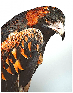 eagle-head-r-f