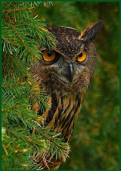 owl-in-pine-tree-f