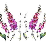 2-foxgloves-160x150