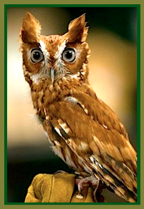 brown-owl-ff