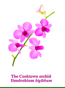 cooktown-orchid