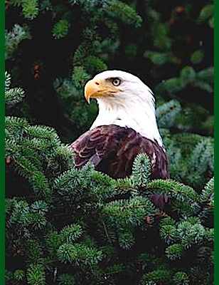 eagles-head-in-pine-tree-f